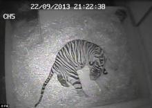 ภาพหายาก เสือโคร่งสุมาตราออกลูก