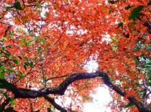 ชวนเที่ยวชม เมเปิ้ล ผลัดใบสีแดงสะพรั่งเต็มผืนป่า อช.ภูหินร่องกล้า
