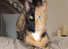 วีนัส แมวหน้าแปลก2สี ที่ชาวโซเชี่ยลกดไลค์ติดตามมากที่สุด