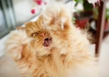 รู้จัก กาฟี่ แมวหน้าโหดสุดฮอต