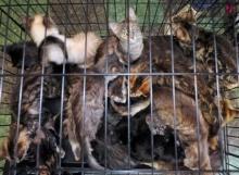 มนุษย์สุดโหด! ขังแมว150 ตัว ไว้ในบ้านสภาพเจียนตาย
