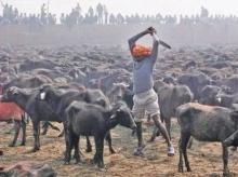 เทศกาล ฆ่าสัตว์ 5 แสนตัว เซ่นเจ้าแม่กาธิมัย เนปาล