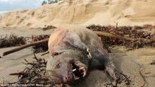 อึ้ง!! หลังพายุถล่ม พบซากสัตว์ประหลาด ริมหาดแคลิฟอร์เนีย