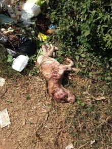 เจ้าบุญมี สุนัขพันธุ์พิทบลู เจ้าของทอดทิ้งให้มันตาย..ก่อนที่จะทำแบบนี้