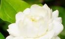 ทำไมจึงใช้ดอกมะลิเป็นดอกไม้ประจำวันแม่