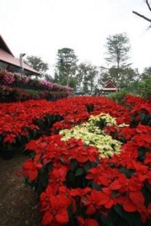 ชวนแอ่วงาน อัศจรรย์ ดอกไม้บาน ชมความงามดอกทิวลิป  ที่ไม่ได้มีแต่งานพืชสวนโลกเจ้า