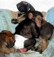ลูกลิงชิมแปนซี แหกกฎธรรมชาติ ติดแม่หมาคิดว่าเป็นแม่แท้ ๆผู้ให้กำเนิด