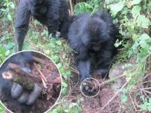 สะเทือนอารมณ์ อึ้ง ลิงกอริลล่าช่วยกันถอนกับดักมนุษย์ฆ่าเพื่อนลิง(