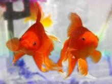 ปลาทองความจำสั้นจริงหรือ