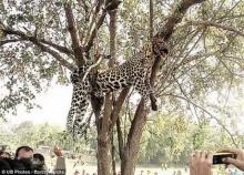 อัสสัมรุมฆ่าเสือ-ห้อยซากคาต้นไม้