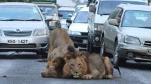 ระทึก!! 2 สิงโตหนุ่มโผล่กลางถนนในเคนยา