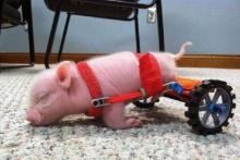 เจ้าหมูน้อยพิการขากุดชื่อดังของโลกสุดแฮ๊ปปี้ ได้อุปกรณ์ช่วยเดิน