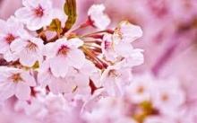 เริ่มแล้ว ′ฤดูกาลชมดอกซากุระ′ ปีนี้ เร็วกว่าทุกปี