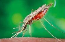 เตรียมใช้ แบคทีเรีย พิชิต มาลาเรีย