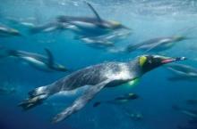 นักวิจัยไขปริศนาทำไมเพนกวินจึงบินไม่ได้?สำเร็จแล้ว