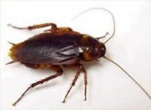 เมื่อโลกอยู่ยาก แมลงสาบ ยัง รู้จักปรับตัว เรียนรู้ ′ความหวาน′ คือ ยาพิษ!