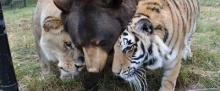 เสือ หมี สิงโต เพื่อนรักต่างพันธุ์