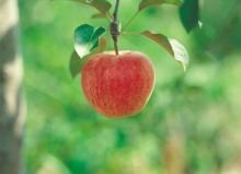 ต้นแอปเปิ้ลกับเด็กน้อย
