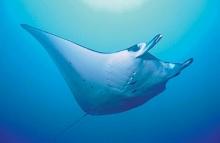 เตือนภัย ฉลาม-กระเบน 25% เสี่ยงสูญพันธุ์