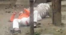 ระทึก หนุ่มจีนป่วยหดหู่ ถูกเสือขย้ำหลังเข้ากรง ให้ตัวเองเป็นเหยื่อ