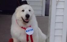 เรื่องแปลกๆแต่น่ารัก สุนัขชนะเลือกตั้งเป็นนายกเทศมนตรี
