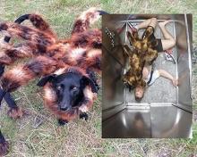 หมาแมงมุมยักษ์สุดฮอต!!! แปลงร่างอำชาวบ้าน วิ่ง หนี กระเจิง(คลิป)