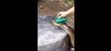 ตะลึง!!อาบน้ำ งูยักษ์ เลี้ยงดูสุดถนอม