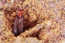 แมงมันมาแล้ว สุดยอดอาหารของชาวล้านนา