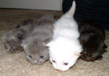 แมวกินอาหารสุนัขทำลายสุขภาพแมวทางอ้อม