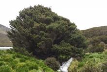 """""""ต้นไม้โดดเดี่ยวที่สุดในโลก"""" มีร่องรอยกัมมันตรังสีชี้จุดเริ่มต้นยุคแห่งมนุษย์"""