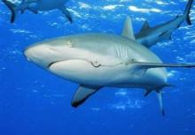เชื่อมั้ย!!! เนื้อมนุษย์อาจมีรสชาติแย่ในความรู้สึกของฉลาม