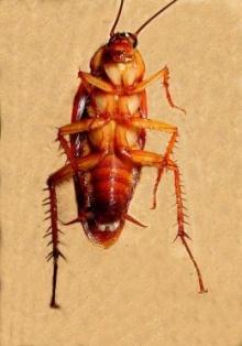 ทำไมแมลงสาบถึงหงายท้องตาย???