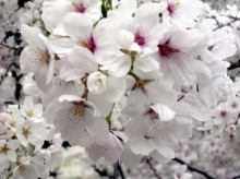 ทำไมฝรั่งเรียก ต้นซากุระ ว่า cherry blossom