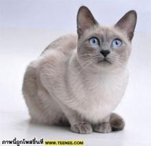 สำนวนแมว แมว