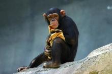 ลิงเคยเป็นบรรพบุรุษของมนุษย์จริงหรือไม่