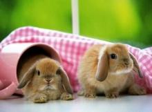 พันธุ์กระต่ายที่นิยมเลี้ยงกันในประเทศไทย