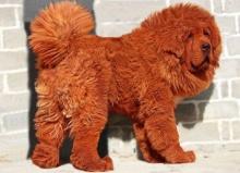 น้องหมาค่าตัวแพงที่สุดในโลก