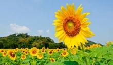 เที่ยวทุ่งดอกทานตะวัน-ไม้ดอกเมืองหนาว-ดอกทิวลิปที่เมืองสุพรรณบุรี