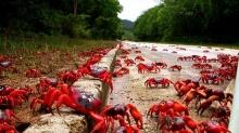 มหัศจรรย์ การย้ายถิ่นของปูแดง ที่เกาะคริสต์มาส
