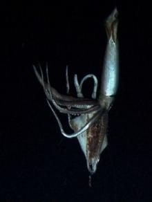 นักวิทย์ญี่ปุ่นถ่ายติดภาพปลาหมึกยักษ์ 8 เมตร ในทะเลลึกแปซิฟิค