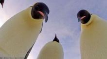 หาดูยาก ภาพ ′เพนกวิน กกลูกน้อย′