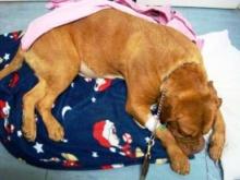 ใจร้าย!!! บังคับสุนัขกลืนโคเคนลงท้องก่อนผ่าออกแล้วปล่อยให้ตาย