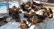 มะกันช่วยลูกสิงโตทะเลถูกเคลื่อนซัดเกยตื้นนับ 100 ตัว