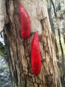 ทากสีชมพูพันธุ์ใหม่ที่ค้นพบในประเทศออสเตรเลีย