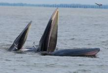 ทช.บรรจุ วาฬบรูด้า เป็นสัตว์ประจำถิ่นอ่าวไทยรูปตัว ก