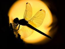 บนบ่าของคุณมีแมลงปอไหม