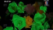 ดอกกุหลาบเรืองแสงรับวาเลนไทน์
