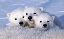 ภาพประทับใจของเจ้าหมีโพลาร์ น่ารักน่าชัง
