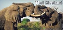 วันที่ 13 มีนาคม วันช้างไทย