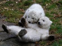 ชมความน่ารักของแฝดหมีขั้วโลกที่สวนสัตว์ในมิวนิค